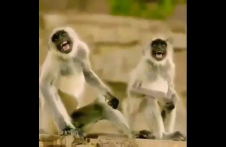Monkey laugh video meme template